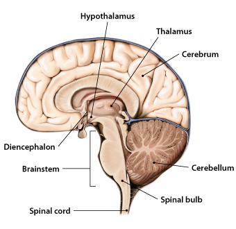 The nervous system more than 90000 miles of sensations visual lateral cross section of the brain ccuart Choice Image