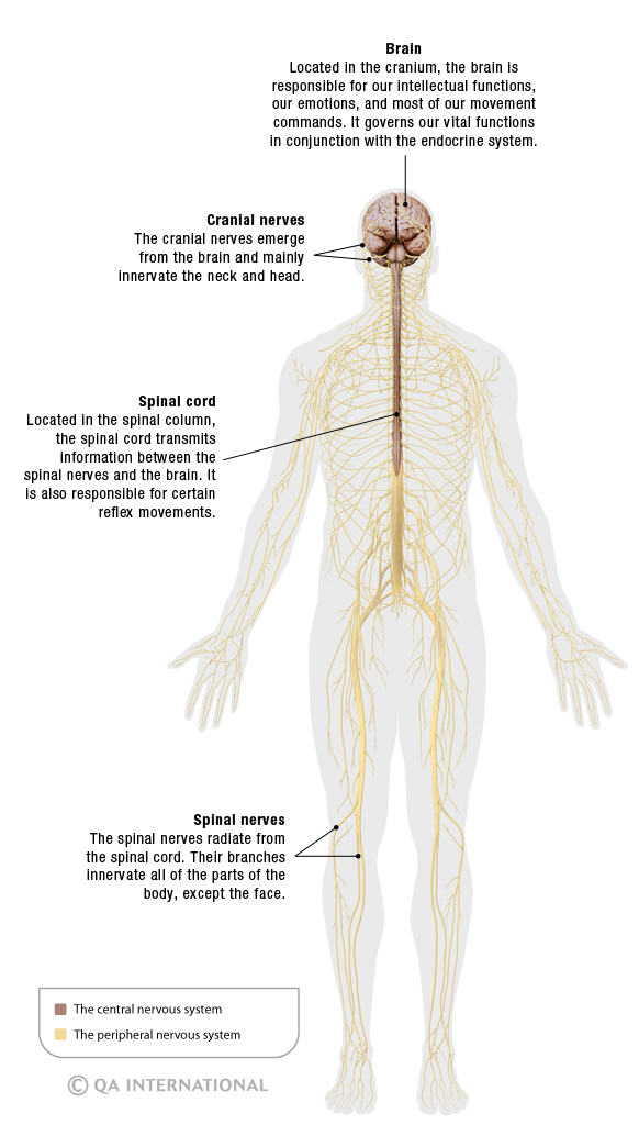 The nervous system more than 90000 miles of sensations visual the structure of the nervous system ccuart Images