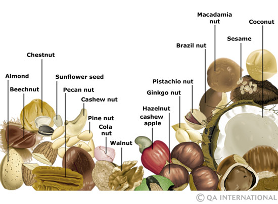 Nuts and seeds | The Visual Dictionary