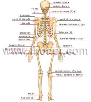 Human spine anatomy diagram back view circuit connection diagram the human skeleton visual dictionary rh ikonet com from the back organs human anatomy internal organs rear view ccuart Choice Image
