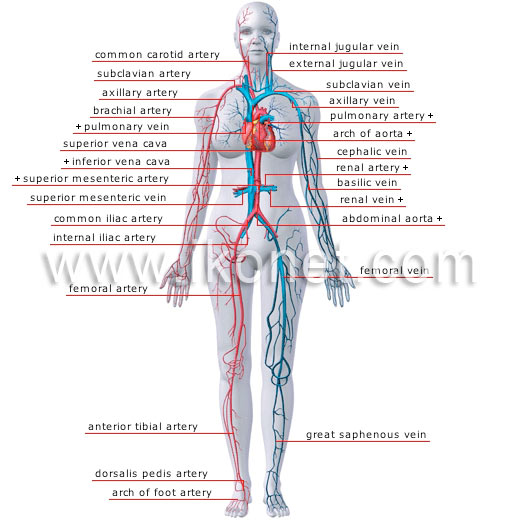The Muscular System Diagram Quiz besides Unlabelled Diagram Of The Heart in addition 1497 in addition Double Circuit Circulatory System together with Quiz Yourself On Digestion. on human circulatory system quiz
