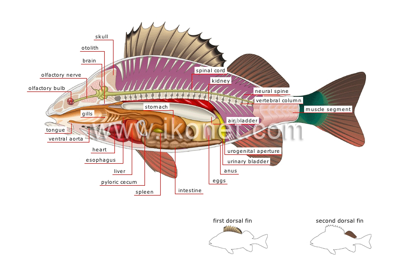 animal kingdom > fishes > bony fish > anatomy of a perch image ...