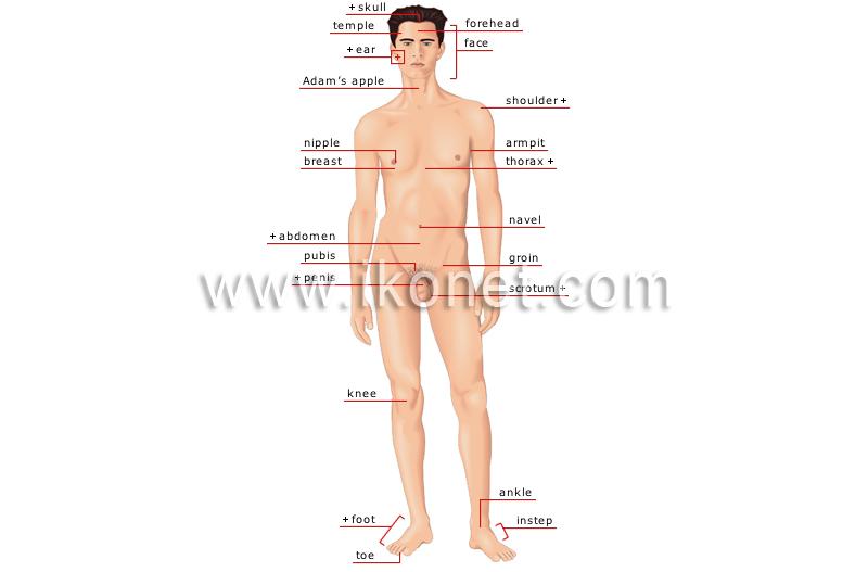 human being > human body > man > anterior view image - Visual Dictionary