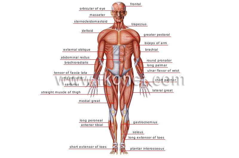 human being > anatomy > muscles > anterior view image - Visual ...