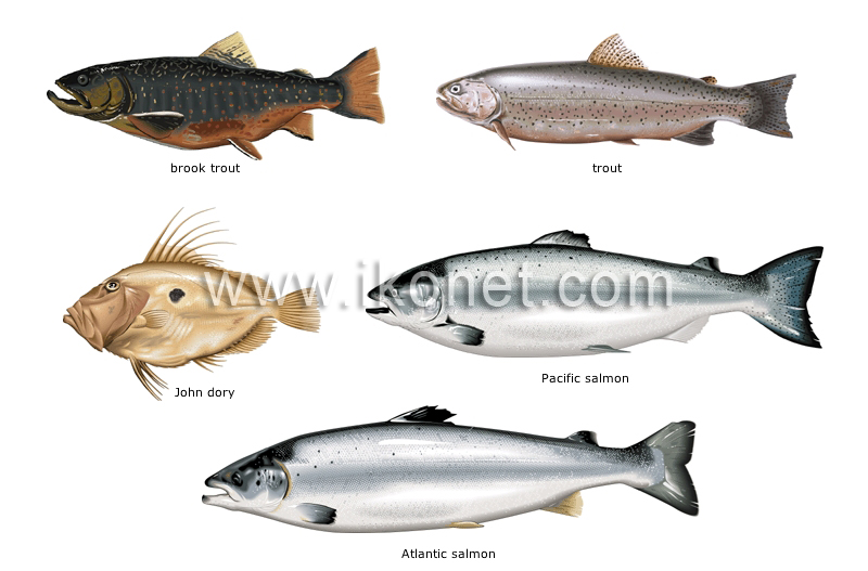 Food and kitchen food bony fishes image visual for Oily fish representative species