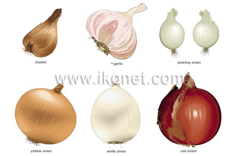 food and kitchen > food > vegetables > bulb vegetables ...