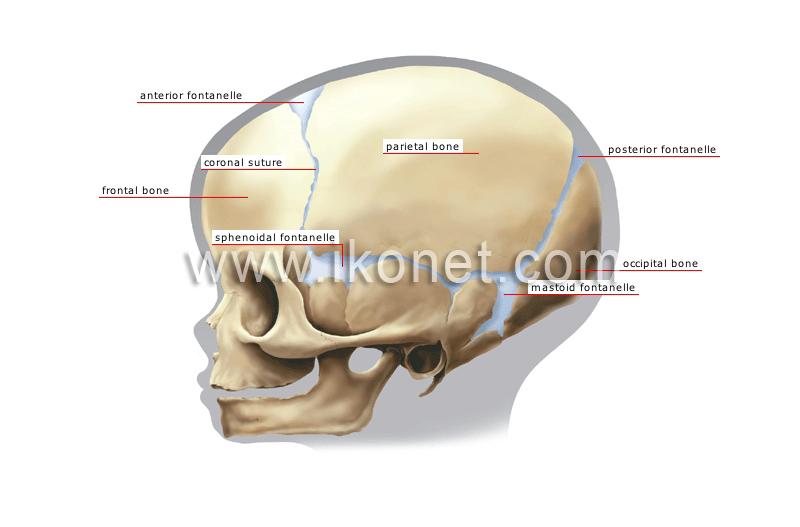 Human Being Anatomy Skeleton Childs Skull Image Visual