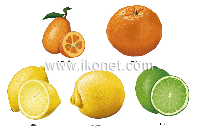 food and kitchen gt food gt fruits gt citrus fruits image
