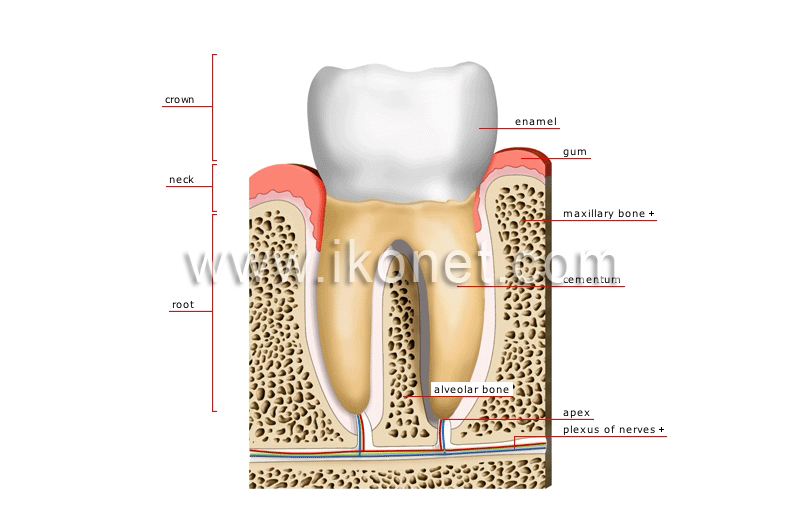 Human Being Anatomy Teeth Cross Section Of A Molar Image