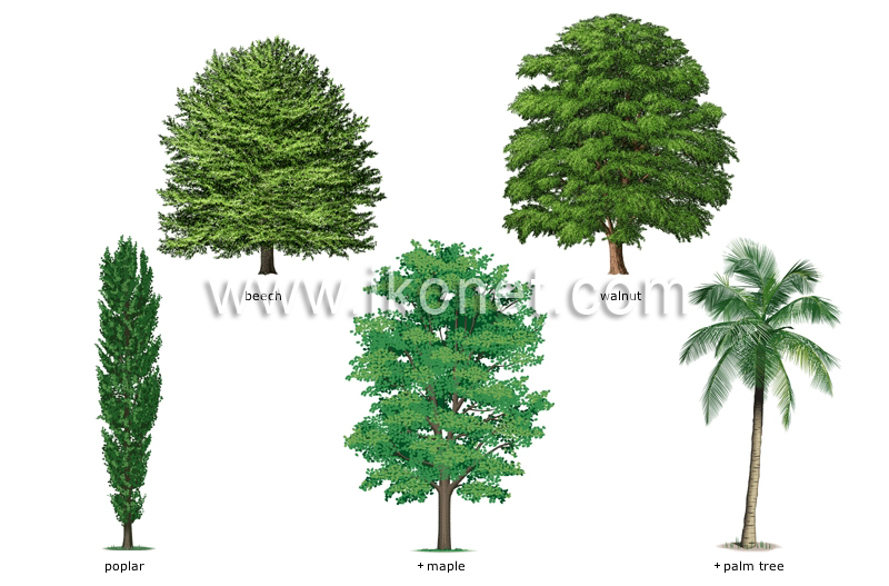 Vegetable kingdom tree examples of broadleaved trees image visual dictionary - Growing french walnuts for a profit ...