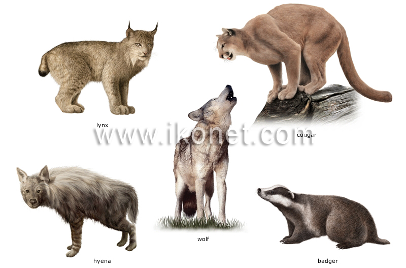 Animal Kingdom Gt Carnivorous Mammals Gt Examples Of