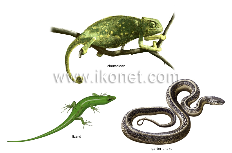 Examples Of Reptiles Image  Examples Of