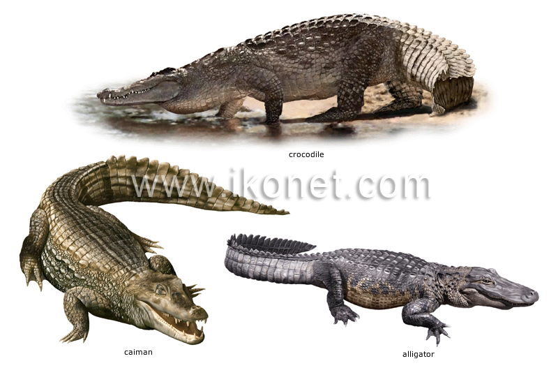 Can you give me 5 examples of reptiles  Answerscom