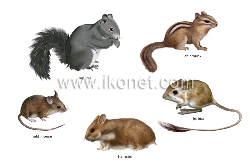 Examples Of Rodents