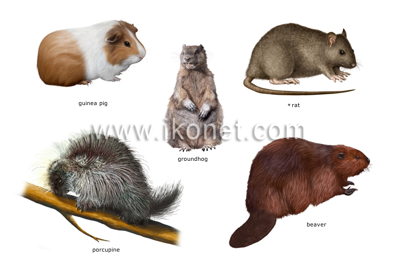 Animal Kingdom Gt Rodents And Lagomorphs Gt Examples Of