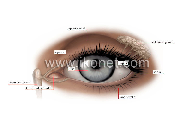 Human being sense organs sight eye image visual dictionary eye image ccuart Image collections