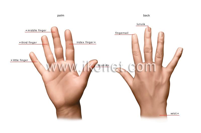 human being > sense organs > touch > hand image - Visual Dictionary