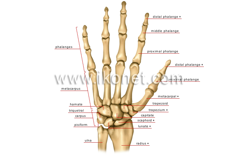 Human Being Anatomy Skeleton Hand Image Visual Dictionary