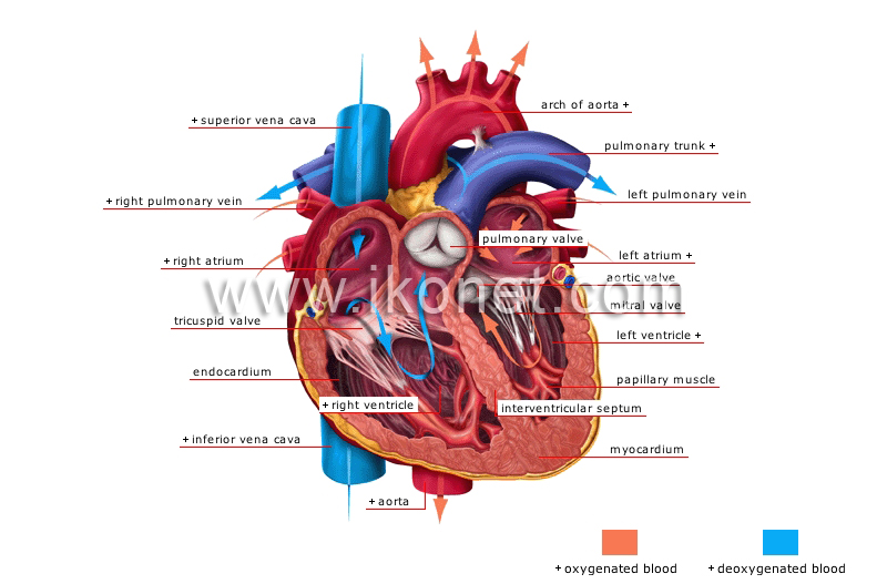 human being > anatomy > blood circulation > heart image - Visual ...