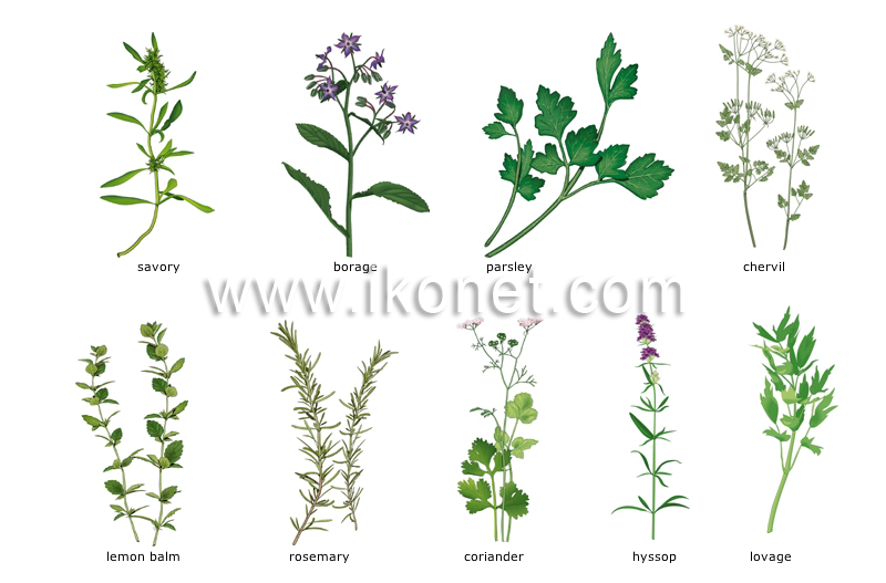 Food and kitchen food herbs image visual dictionary - Plantes aromatiques cuisine ...