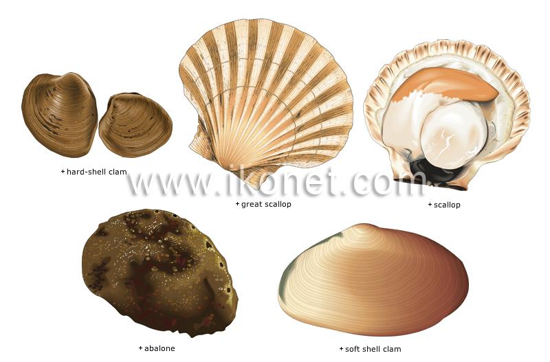 Food And Kitchen Food Mollusks Image Visual Dictionary