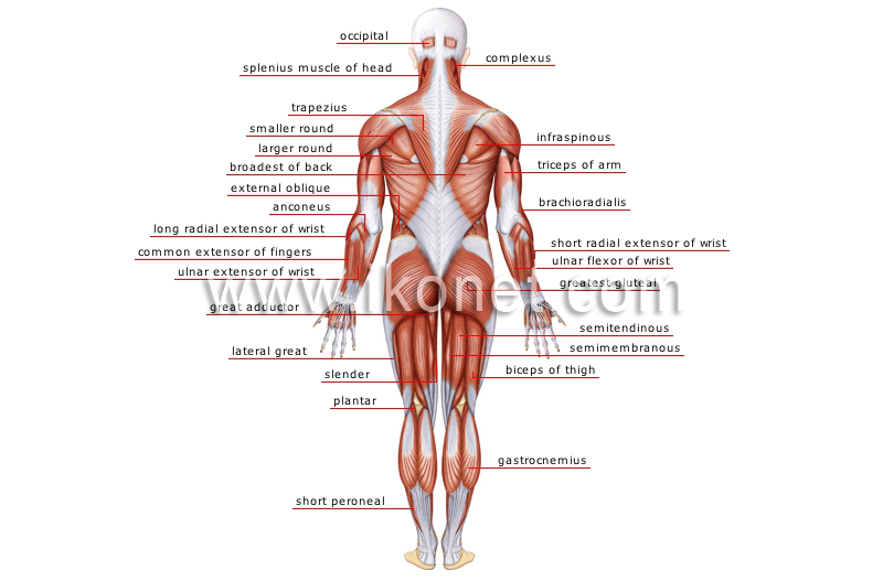 Human Being Anatomy Muscles Posterior View Image Visual