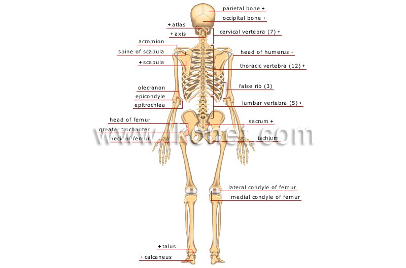 Human Being Anatomy Skeleton Posterior View Image Visual