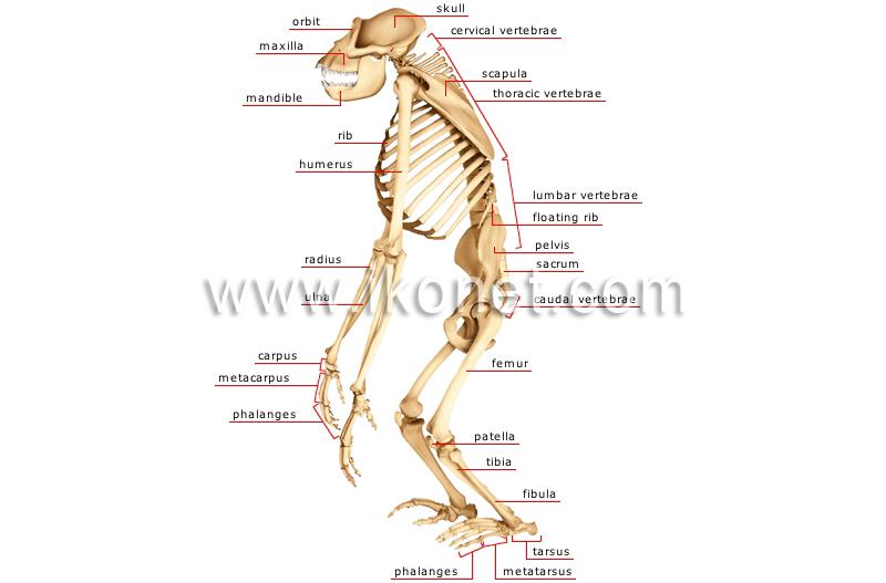 Animal Kingdom Primate Mammals Gorilla Skeleton Of A Gorilla