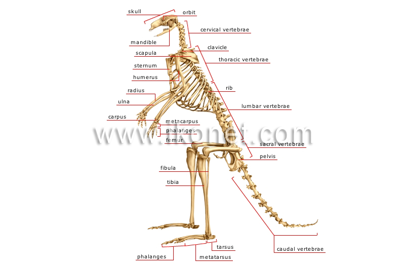 Skeleton of a Kangaroo Image