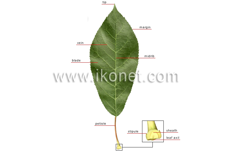 Vegetable Kingdom Leaf Structure Of A Leaf Image Visual Dictionary