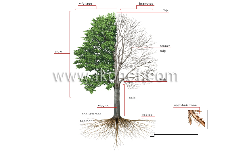vegetable kingdom tree structure of a tree image. Black Bedroom Furniture Sets. Home Design Ideas