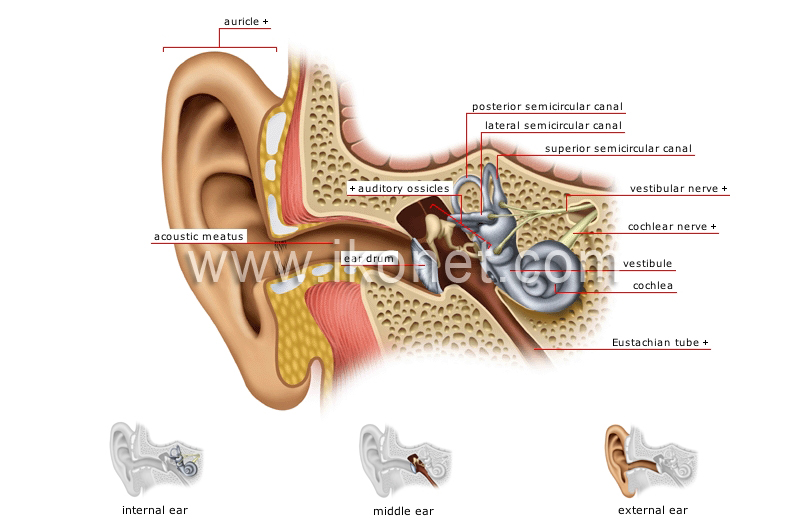 structure of the ear