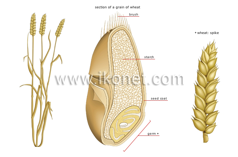 Vegetable Kingdom Cereals Wheat Image Visual Dictionary