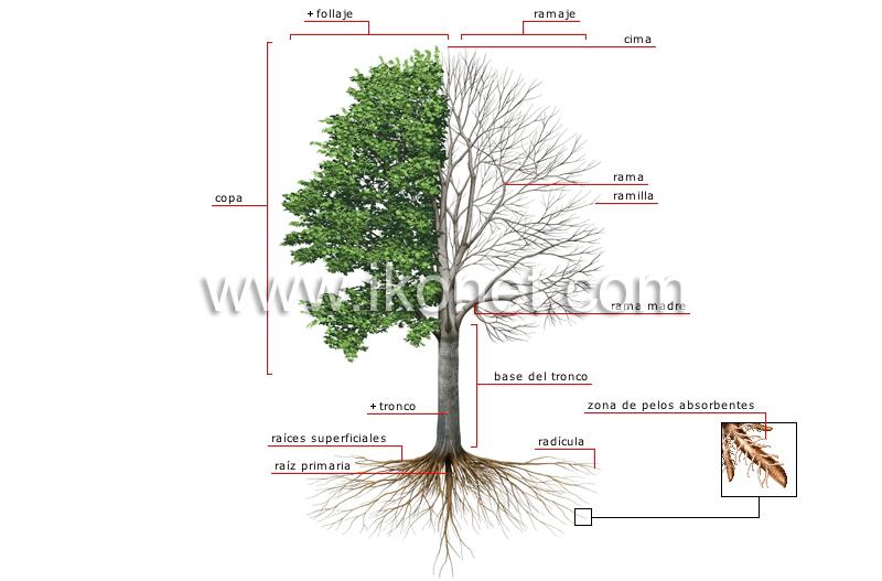 reino vegetal rbol anatom a de un rbol imagen On el arbol es un vegetal