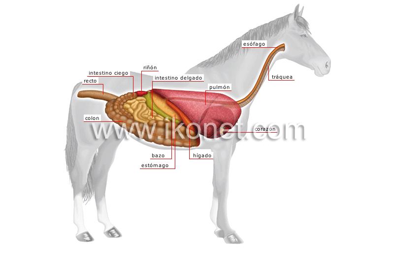 reino animal > mamíferos ungulados > caballo > anatomía de un ...