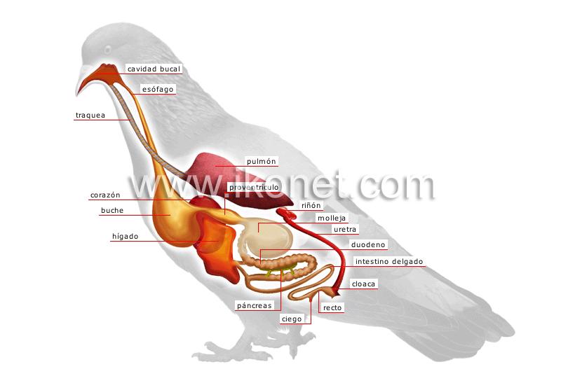 reino animal > aves > ave > anatomía de un pájaro imagen ...