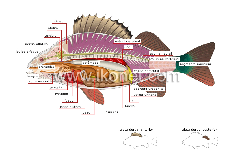 reino animal > peces > pez óseo > anatomía de una perca imagen ...