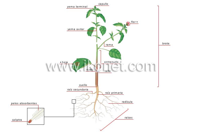 anatomía de una planta image