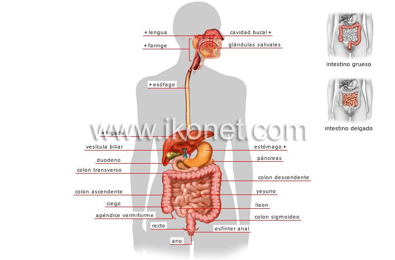 Aparato digestivo | Diccionario Visual