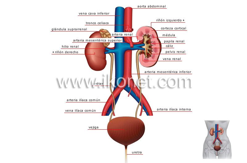 anatom��a