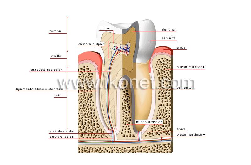 ser humano > anatomía > dientes > corte transversal de un molar ...
