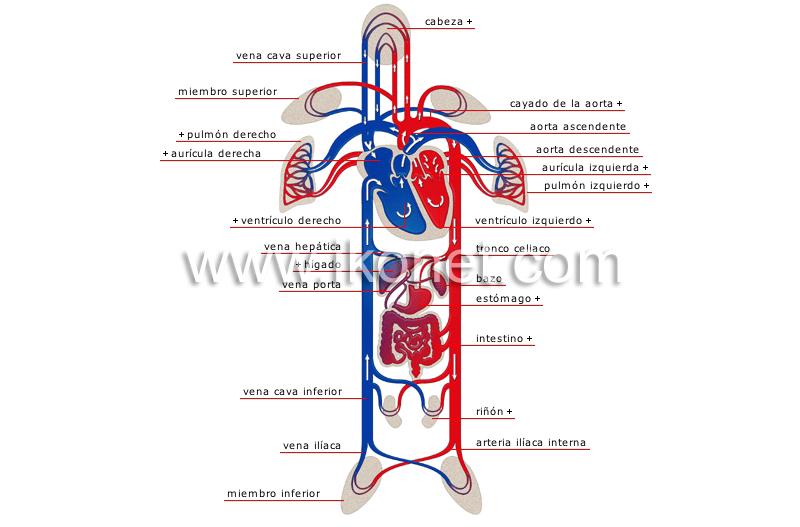 ser humano > anatomía > circulación sanguínea > diagrama de la ...