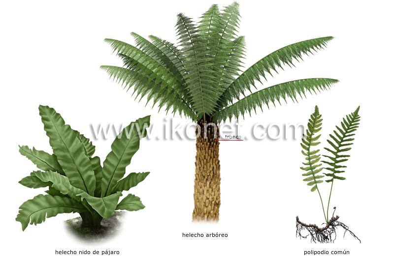 reino vegetal > helecho > ejemplos de helechos imagen ...