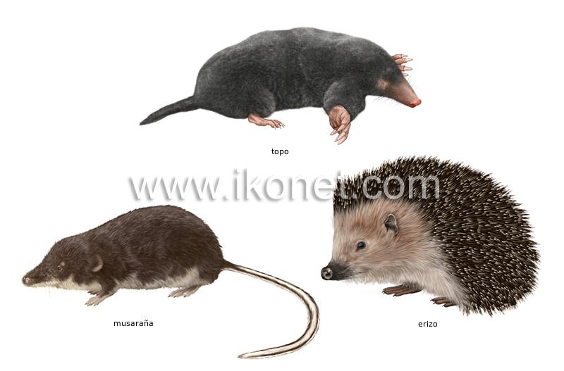 Ejemplos de mamferos insectvoros  Diccionario Visual
