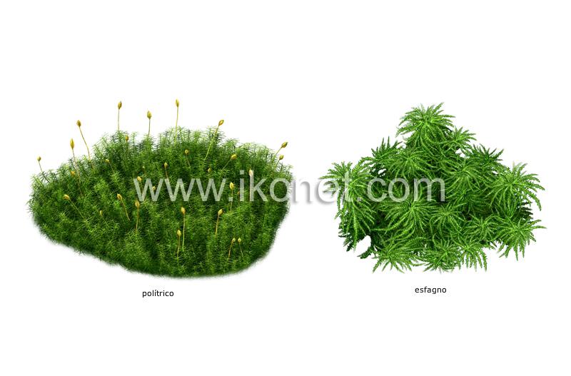 reino vegetal musgo ejemplos de musgos imagen Diccionario Visual