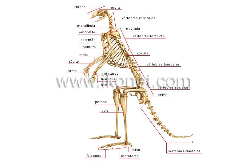 Partes de un esqueleto en ingles