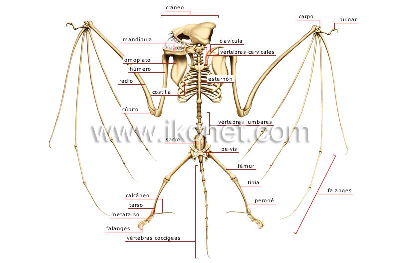 Esqueleto de un murciélago | Diccionario Visual
