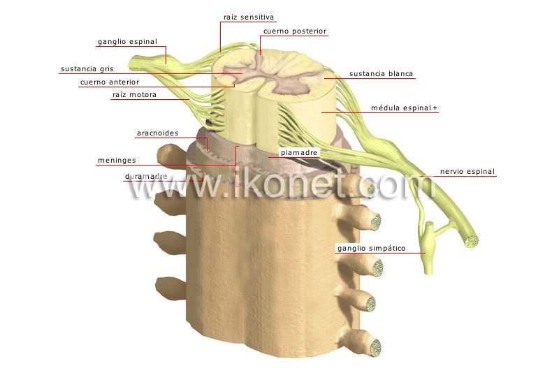 ser humano > anatomía > sistema nervioso > estructura de la médula ...