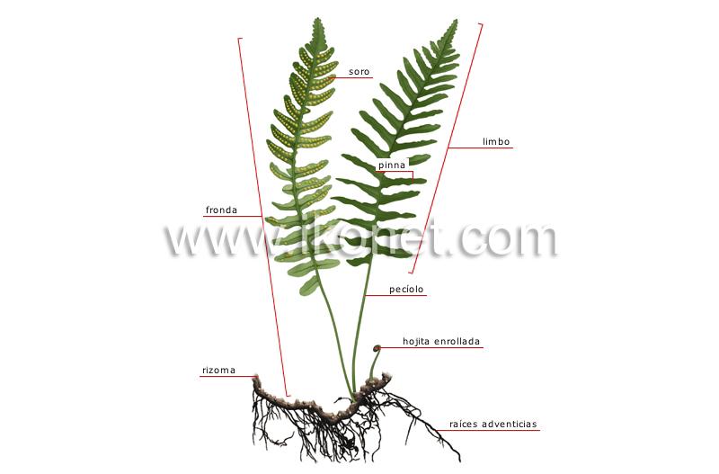 reino vegetal > helecho > estructura de un helecho imagen ...