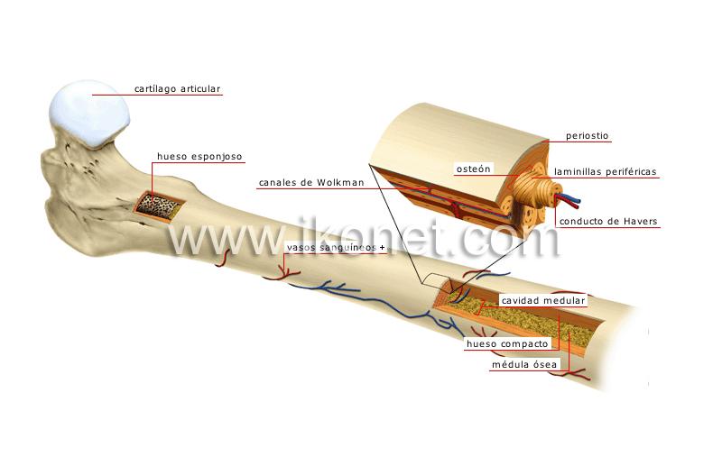 ser humano > anatomía > esqueleto > estructura de un hueso largo ...